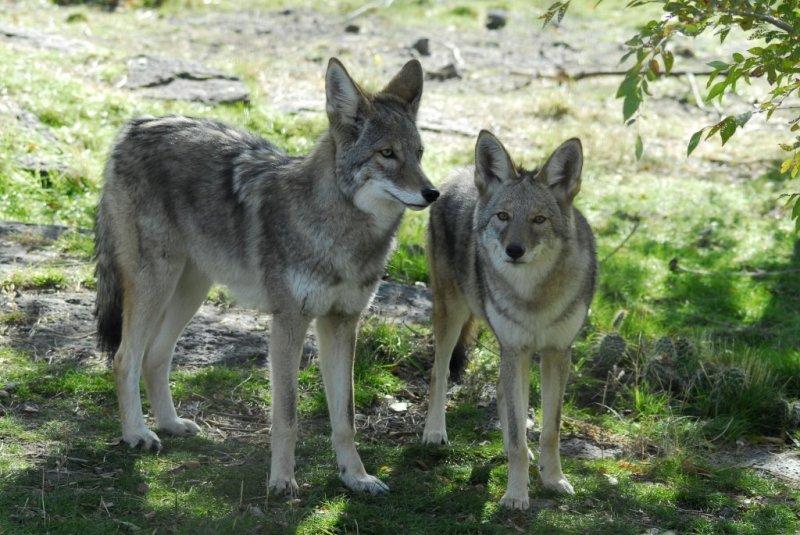 Coyotes at Pocatello Zoo _DSC0720.JPG