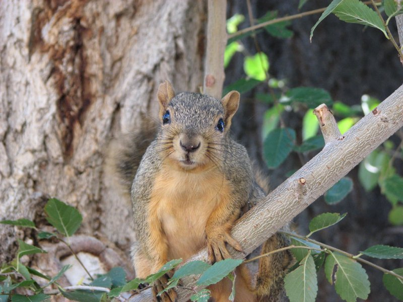 Fox Squirrel Man near ISU Campus smallfile IMG_1504.jpg