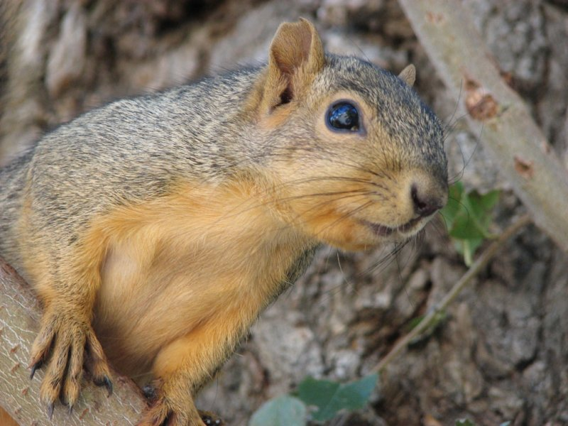 Fox Squirrel Man near ISU Campus smallfile IMG_1507.jpg