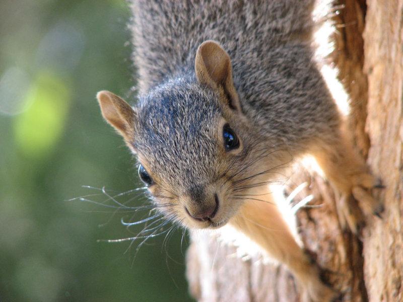 Fox Squirrel Near ISU Campus smallfile IMG_1502.jpg