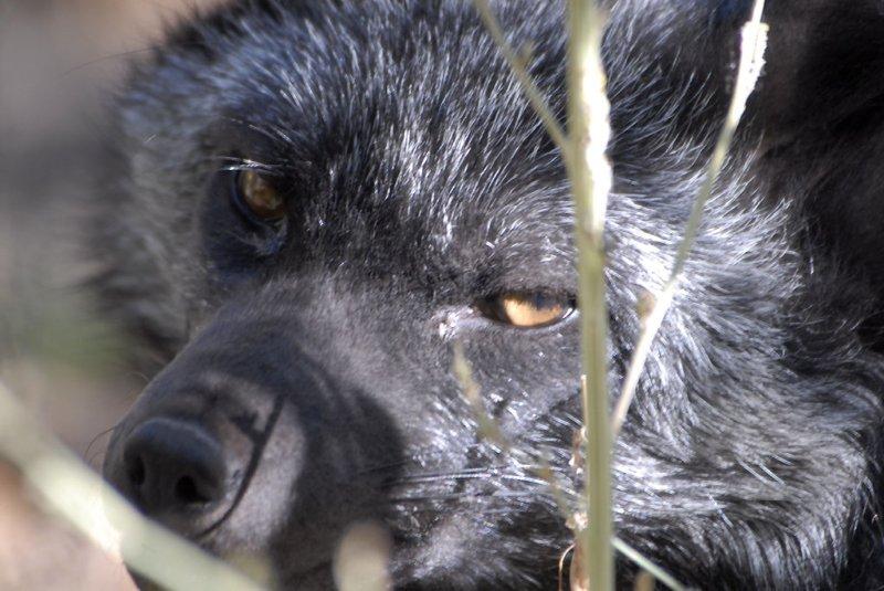 Silver Fox at Pocatello Zoo _DSC1154.jpg
