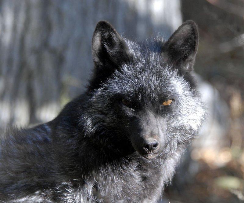 Silver Fox at Pocatello Zoo _DSC1218.jpg