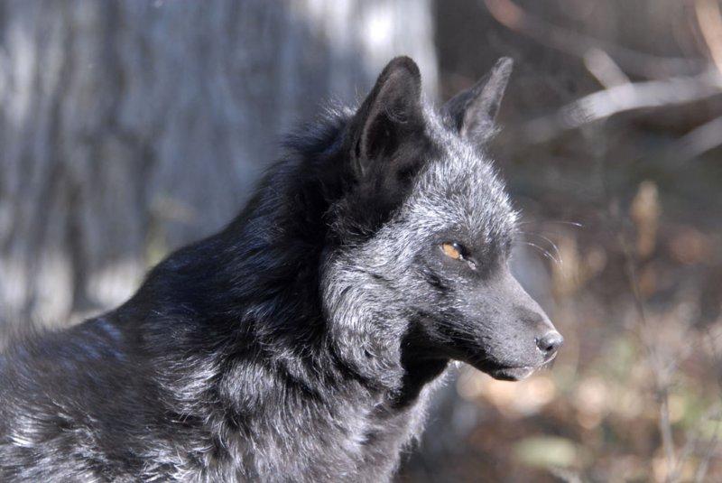 Silver Fox at Pocatello Zoo _DSC1219.jpg
