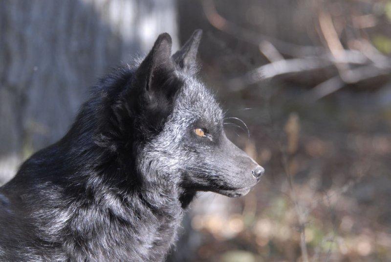 Silver Fox at Pocatello Zoo _DSC1220.jpg