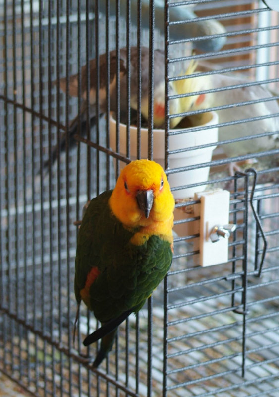 Willy the Jenday Conure on a Cockatiel Cage smallfile DSCF0082.jpg