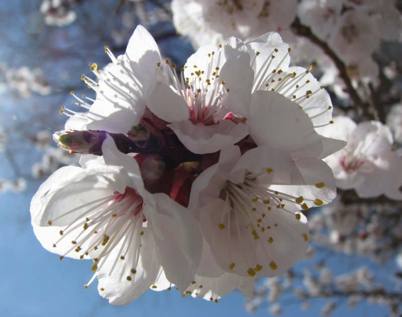 apricot blossoms 8th avenue IMG_2712.JPG