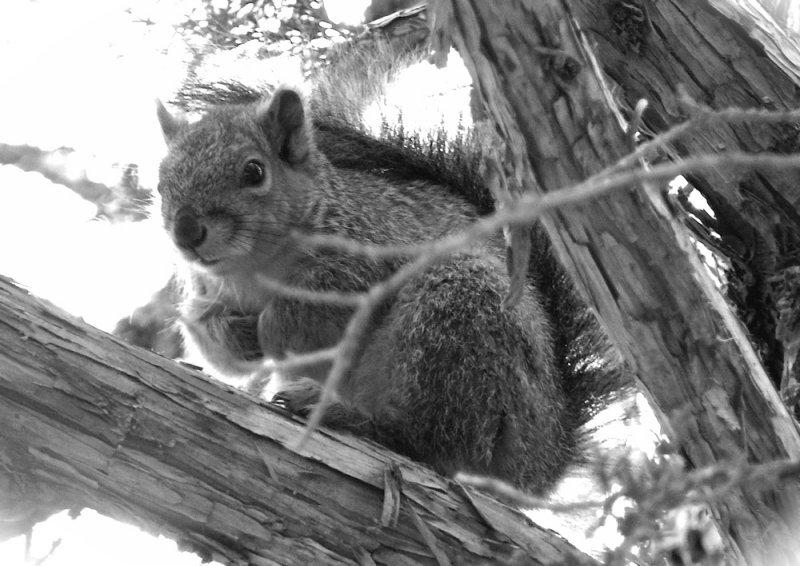ISU campus squirrel P1010209.JPG