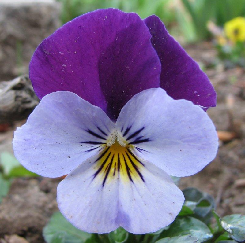 Trimmers flower 2007 IMG_3029.jpg