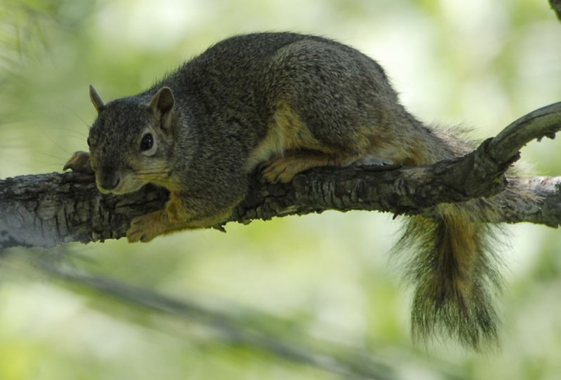 fox squirrel smallfile _DSC0346.jpg