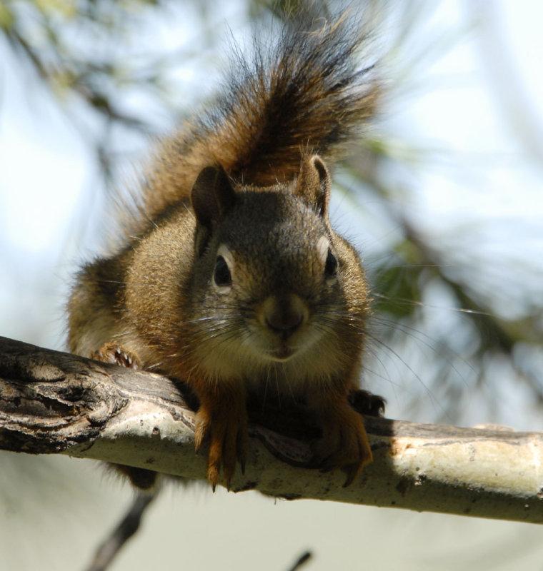 red squirrel smallfile _DSC0427.jpg