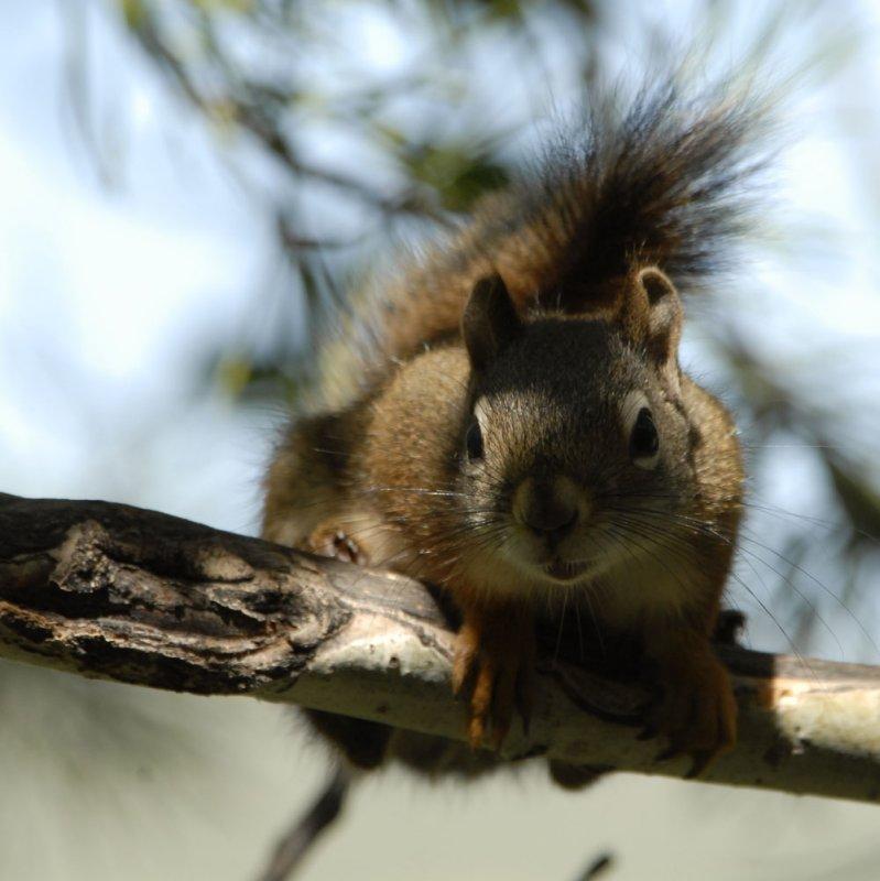 red squirrel smallfile _DSC0432.jpg