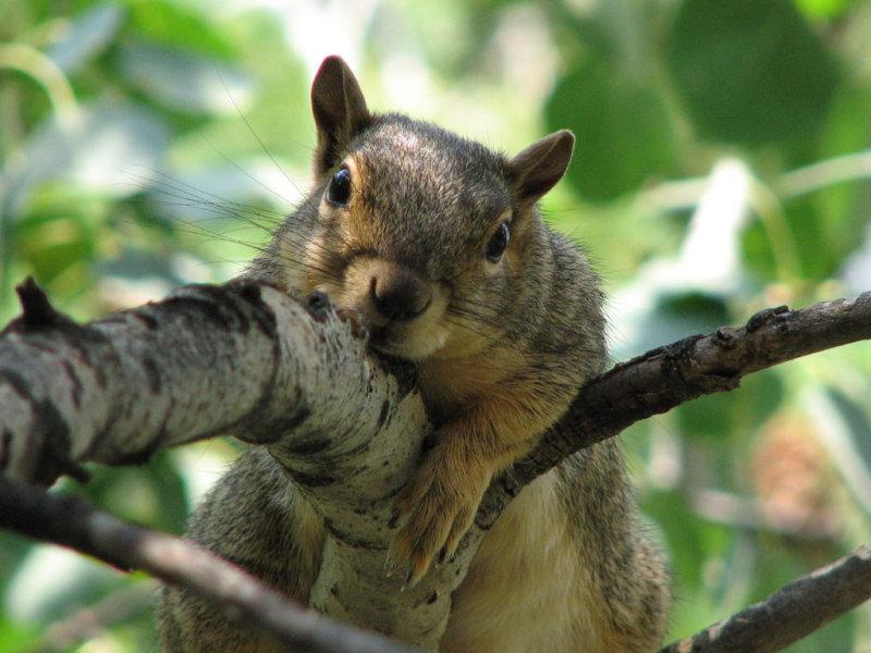 Aspen the Fox Squirrel on an Aspen smallfile IMG_0357.jpg