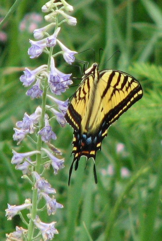 Tiger Swallowtail Butterfly smallfile IMG_0391.JPG