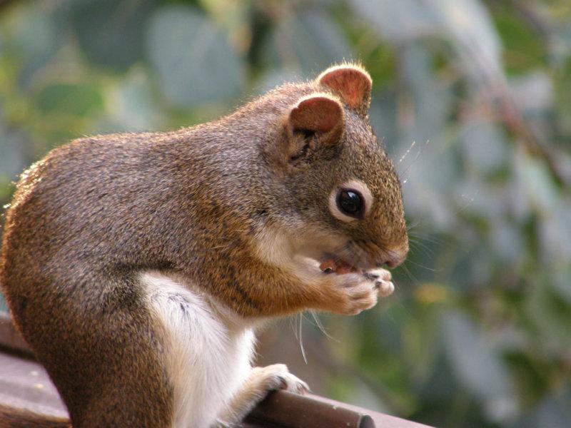 red squirrel Olympus SP-550UZ - unedited but just downsized P7230009