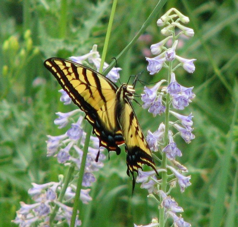 Schmetterling IMG_0390.jpg