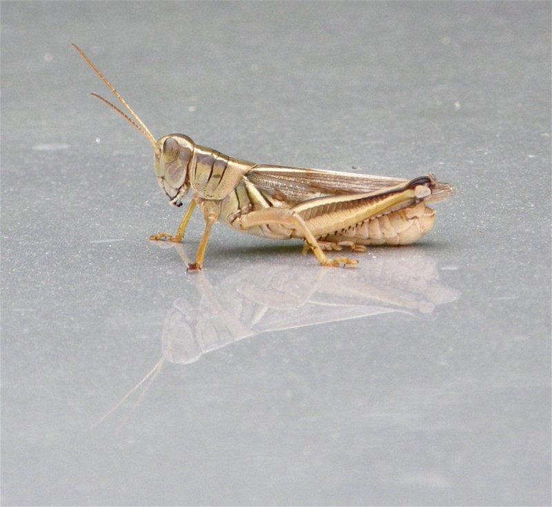 grasshopper on car hood P8010027.jpg