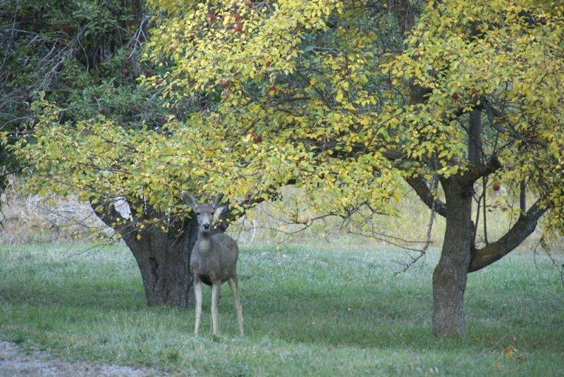 Deer and Apple Trees Autumn Scene _DSC0286_2.jpg