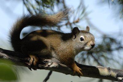 red squirrel smallfile _DSC0397.jpg