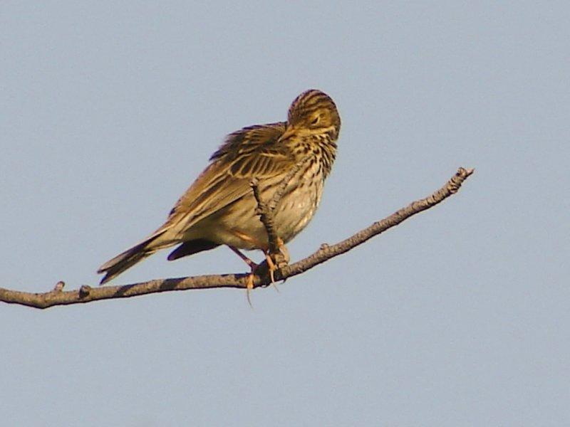 Petinha-dos-prados // Meadow Pipit (Anthus pratensis)