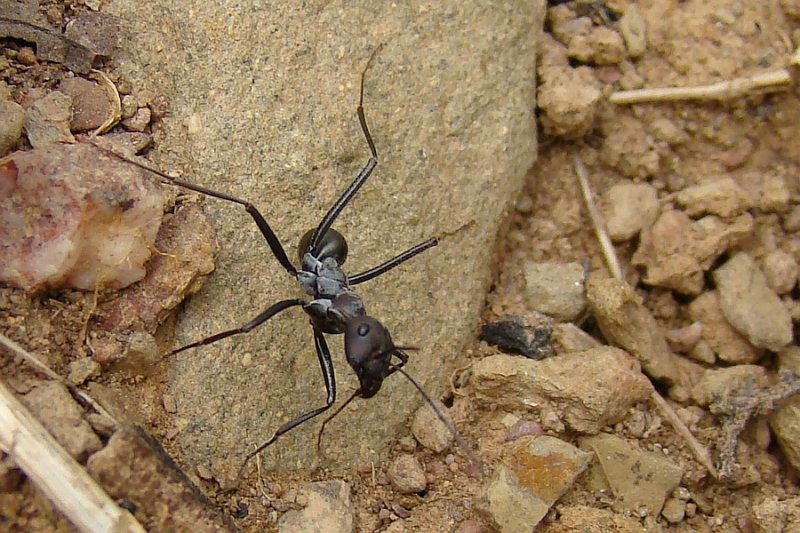 a study of the ant odometer in cataglyphis fortis an ant specie