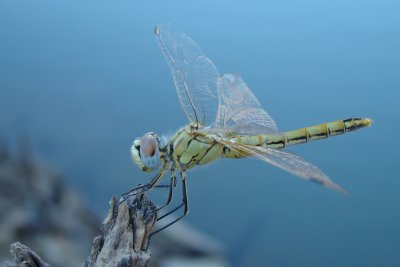 Libelinha / \ Dragonfly