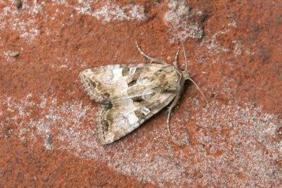 09786 Zandhalmuiltje - Cloaked Minor - Mesoligia furuncula
