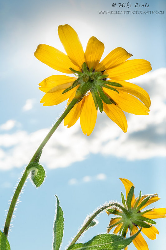 Coreopsis flower to the sun