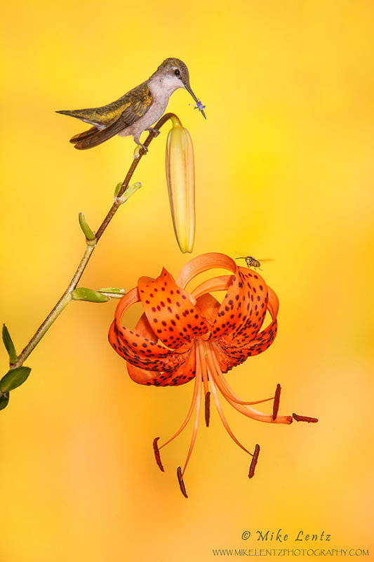 Ruby-throated Hummingbird on Asiatic lilly