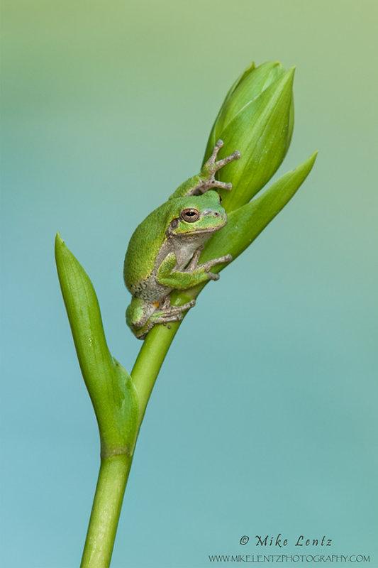 Tree Frog on Hosta plant bythe lake
