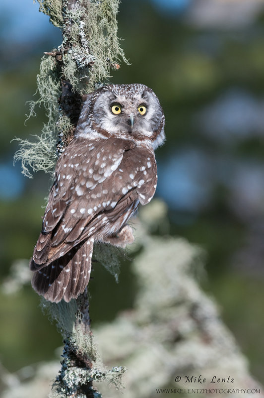Boreal Owl verticle on lichen coated tree