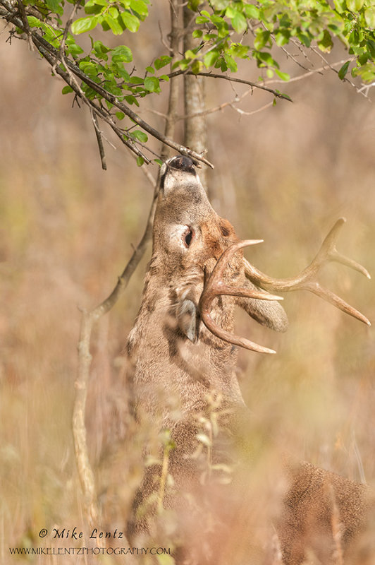 White-tail scent glanding a tree