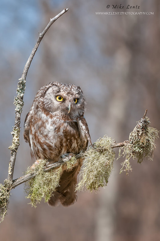 Boreal Owl on curved stick