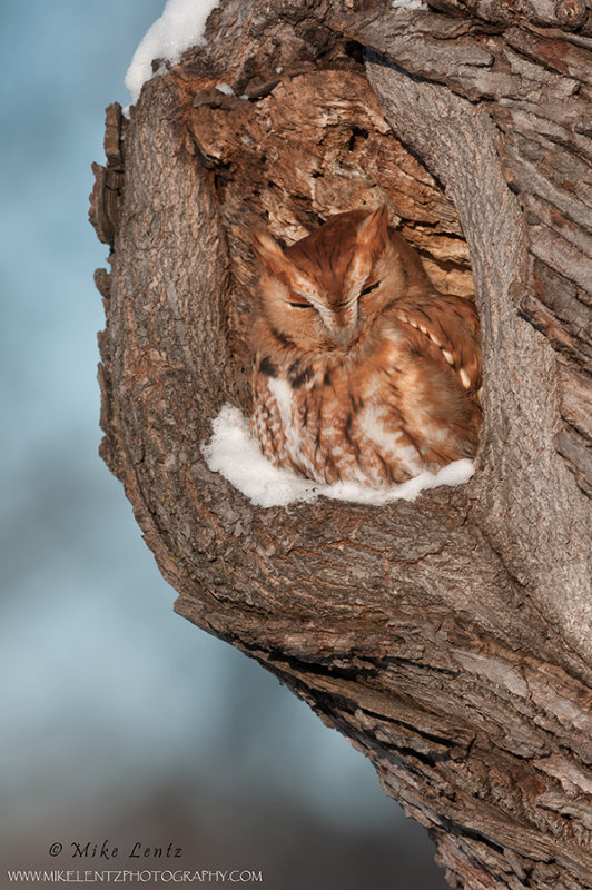 Eastern Screech Owl  (red morph) in cavity