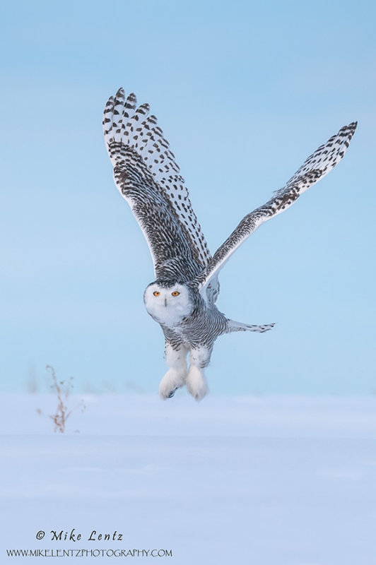 Snowy Owl V formation