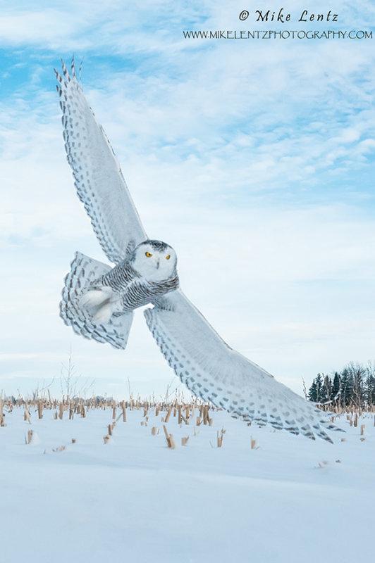 Snowy Owl wings wide