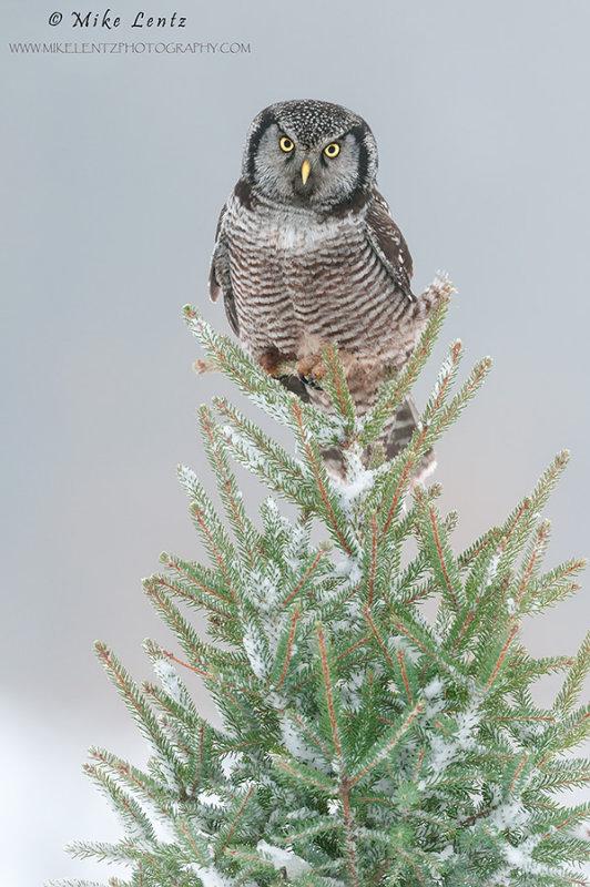 NHO on pine tree with snow