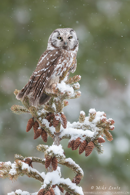 Boreal Owl in snow on pine tree