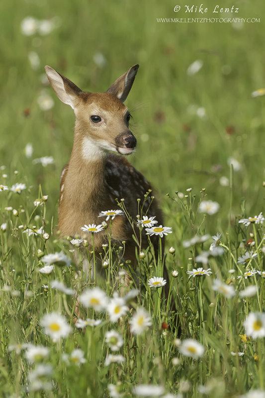 Fawn in field of wildflowers