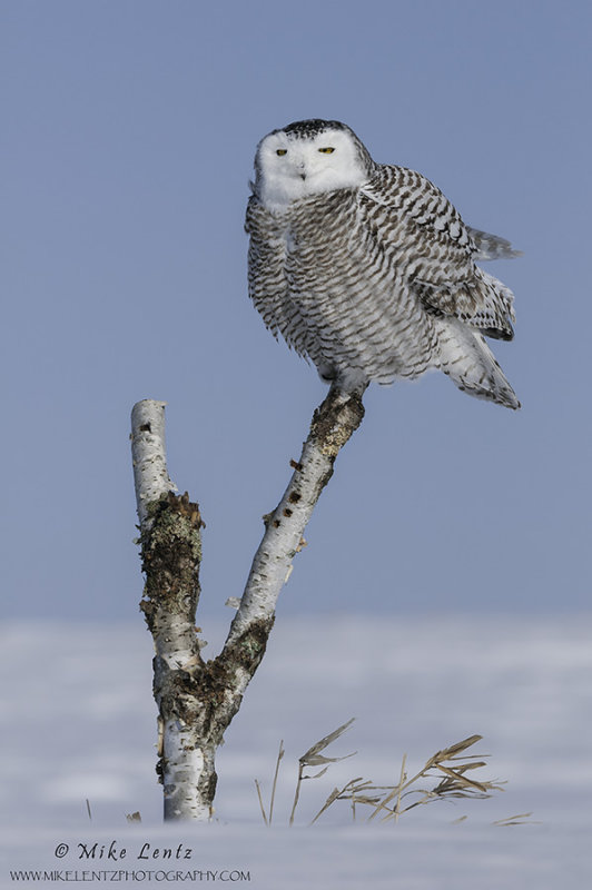 Snowy Owl verticle on birch