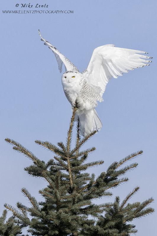 Snowy owl wings up verticle on pine
