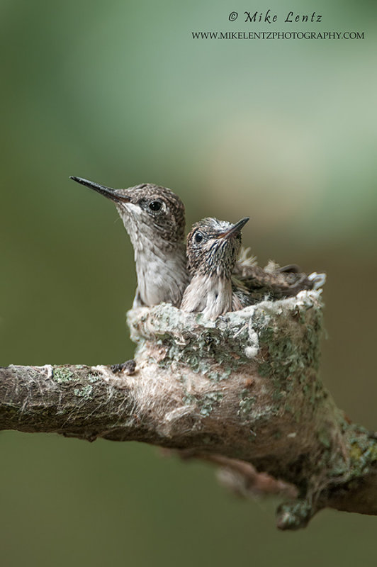 HB Babies in nest verticle