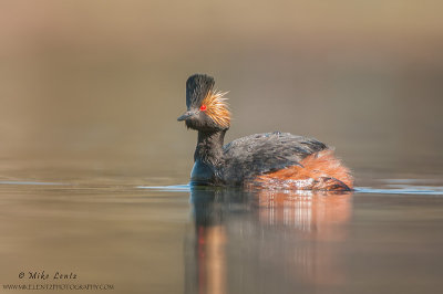 Eared Grebe in calm waters