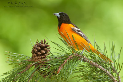 Baltimore Oriole on pines