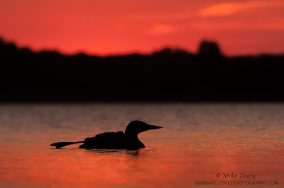 Common Loon (summer sunset silhouette)