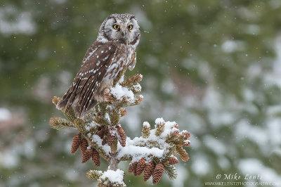 Boreal Owl in a snowfall