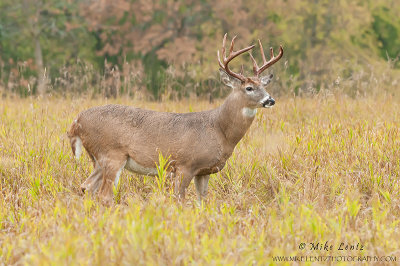 White-tailed Deer in fall field