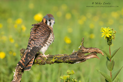 American Kestral fluffed up