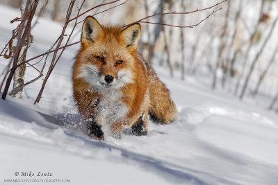 Fox on slope