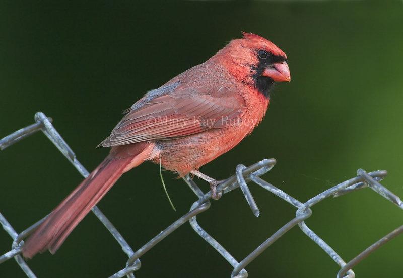 Northern Cardinal D4EC2168.jpg