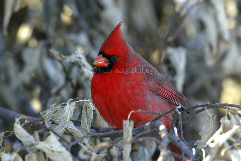 Northern Cardinal D4EC6258.jpg